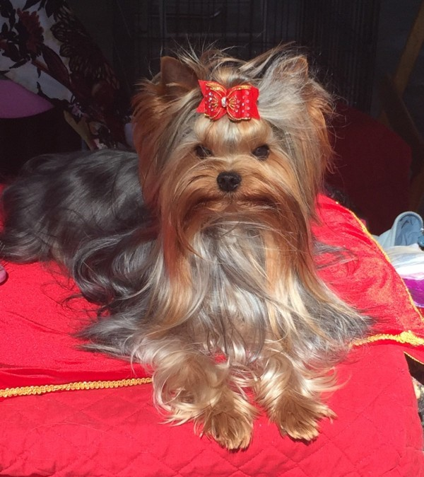 Yorkshire Terrier1 courtesy Mary Ingersoll-Ackerman