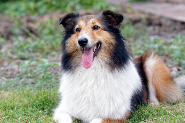 A collie with his tongue out.