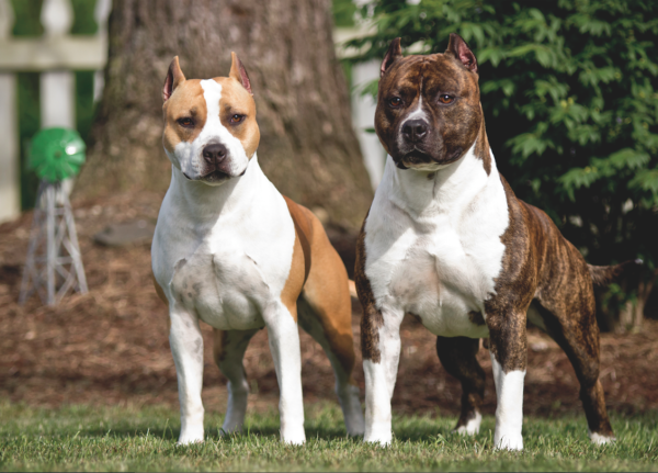 American Staffordshire Terrier photo courtesy Ed and Karen Thomason/Alpine American Staffordshire Terriers.