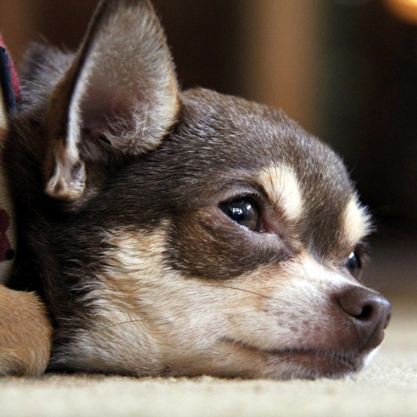 A small dog who looks like he's crying.