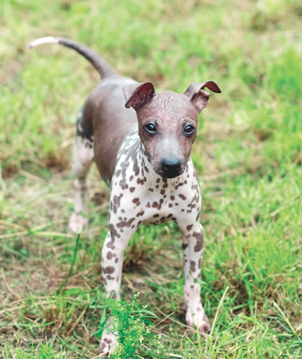 American Hairless Terrier by Shutterstock.