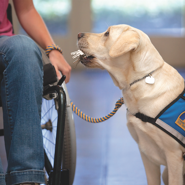 The dogs are taught more than 40 commands, including how to retrieve keys. (Photo courtesy Canine Companions for Independence)