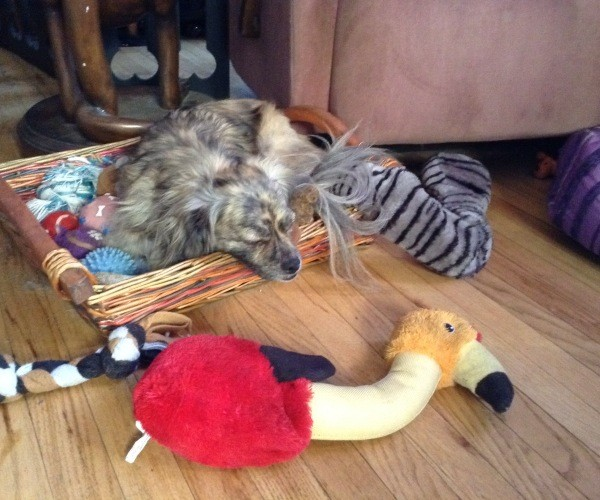 Dog sleeping in toy box