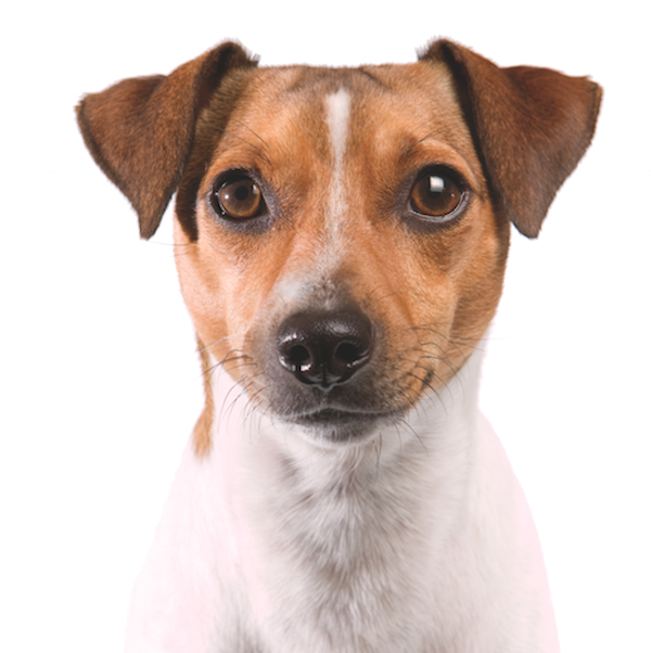 Rat Terrier by Shutterstock.