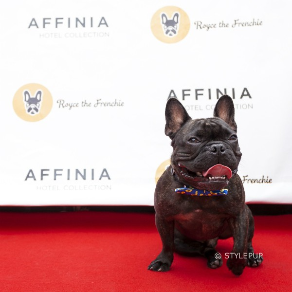 Royce on the red carpet. (Photo courtesy of Royce the Frenchie; By Emmy Park of StylePup)