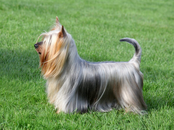 Get To Know The Silky Terrier