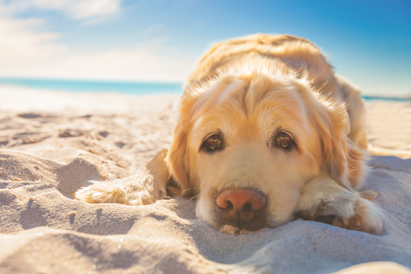 A dog looking sad on the beach.