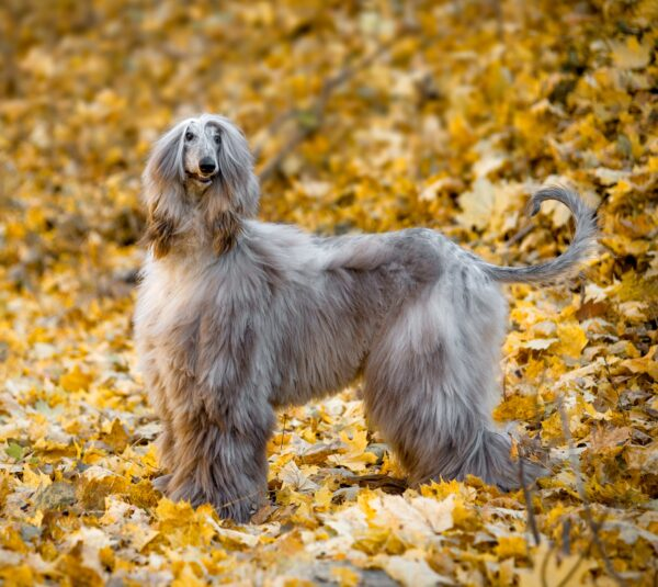 Afghan Hound courtesy Shutterstock