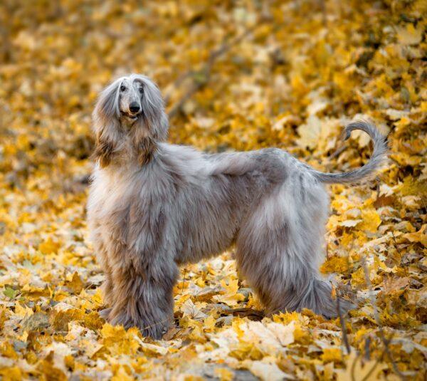Afghan Hound courtesy Shutterstock