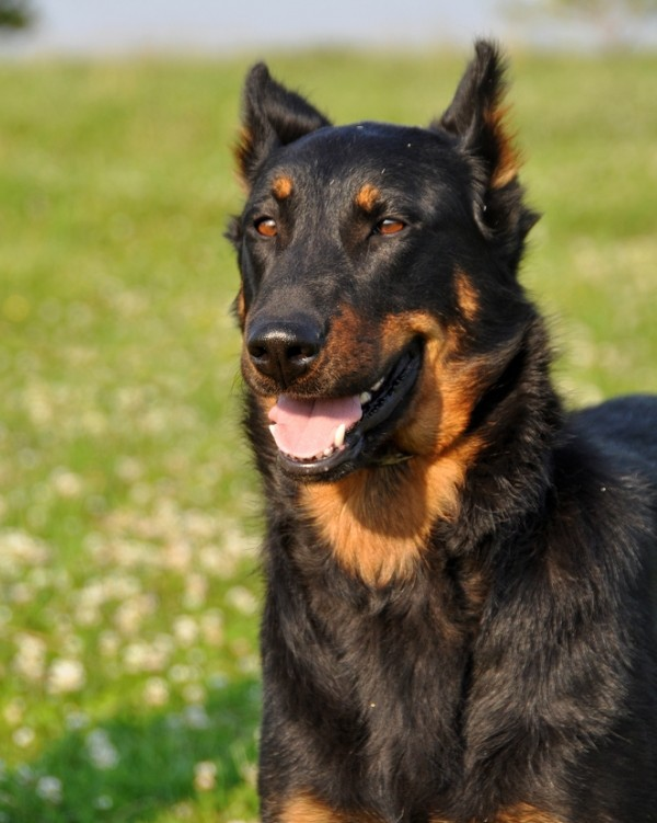 Beauceron courtesy Shutterstock