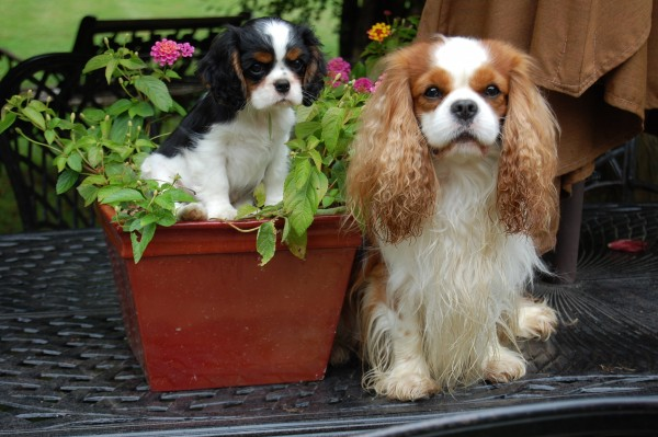 Cavalier King Charles Spaniel courtesy Chadwick Cavaliers