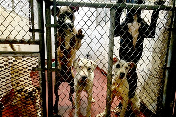 A typical, over-crowded Georgia shelter. (Photo courtesy Lisa Plummer Savas)