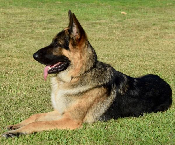 German Shepherd Dog courtesy Connie Cabanela