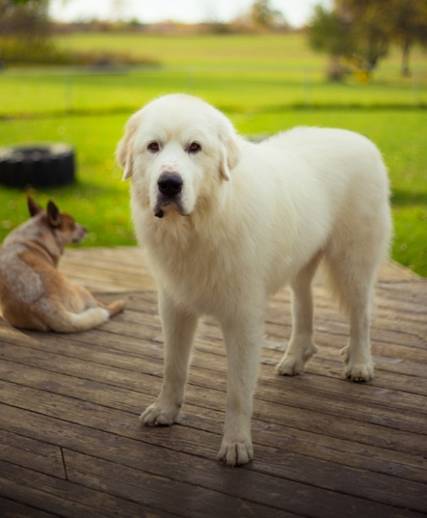 Great Pyrenees courtesy Shutterstock