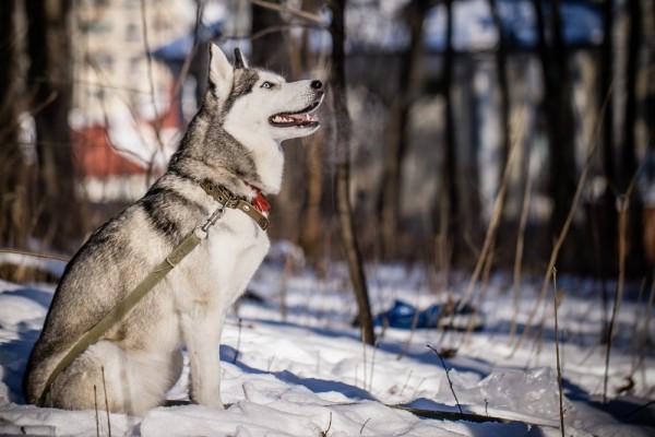 Siberian Husky courtesy Shutterstock