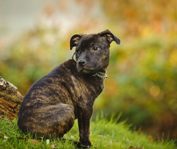 Staffordshire Bull Terrier courtesy Shutterstock