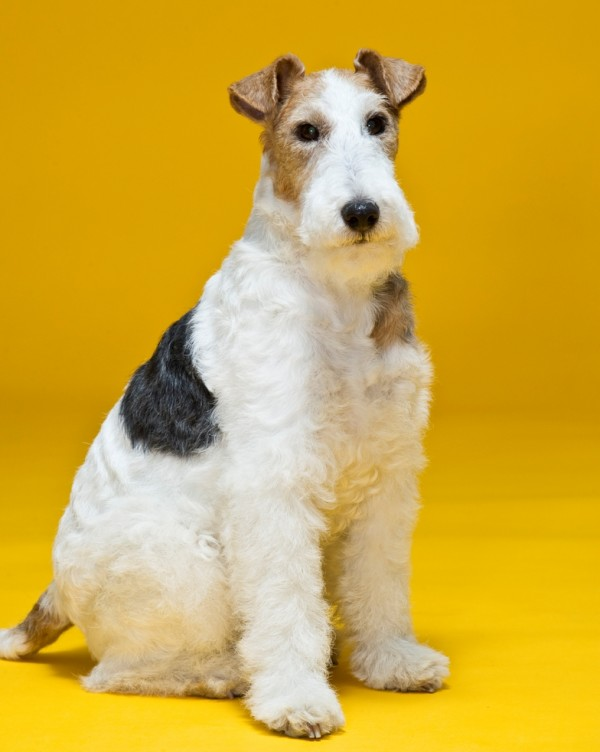 Wire Fox Terrier courtesy Lucia Hackett
