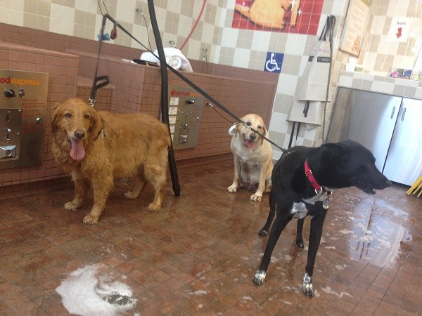 Riggins shares a self wash bath with his friend's Dolci and Mckenzie. Big dogs who can't get up in the tub are washed on the floor. (Photo by Wendy Newell)