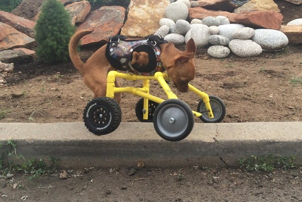 While Daffodil is mobile and energetic without her wheels, she's practically unstoppable with them. (Photo courtesy Daffodil on Wheels)