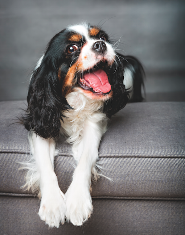 King Charles Spaniel by Fotyma/Shutterstock.