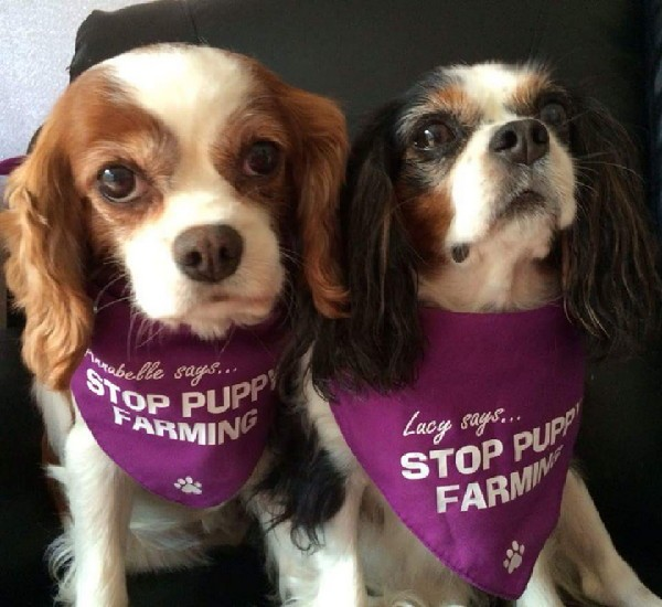 Lucy (right) with fellow rescue Annabelle. (All photos courtesy Lucy the Rescue Cavalier)