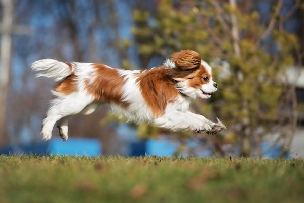 Cavalier King Charles Spaniel by Shutterstock.