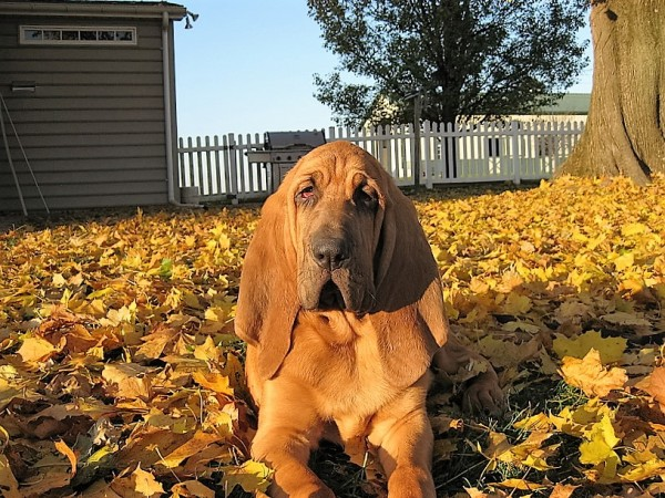 Bloodhound courtesy Deborah Thompson