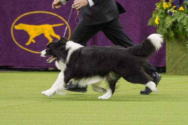 Photo of Border Collie