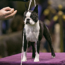 Boston Terrier.