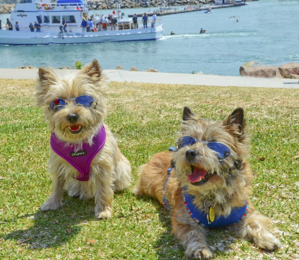 What Does A Cairn Terrier Dog Look Like