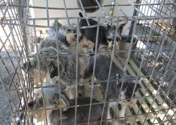Five dogs are crammed into one kennel. (Photo by Cathy Griesbauer and Mary Foster, courtesy HSUS)