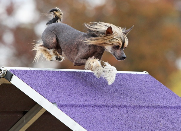 Chinese Crested Dog courtesy Lisa Christman, photography M. Nicole Fischer