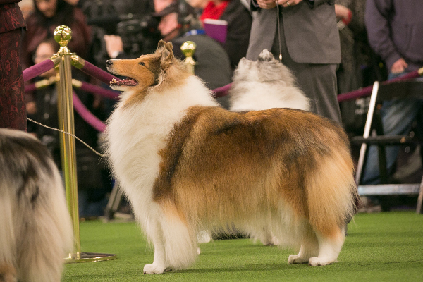 all about collies