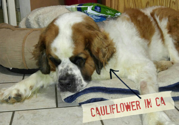 FF_Dogster_AskFrankQuestionPhotos_Cauliflower