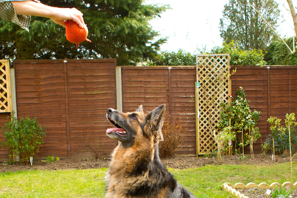 A German Shepherd Dog playing.