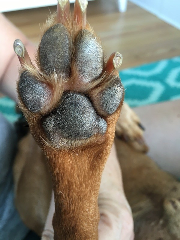 The paw, which looks perfectly fine to me. (Photo by Melissa Kauffman)