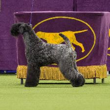 Kerry Blue Terrier.