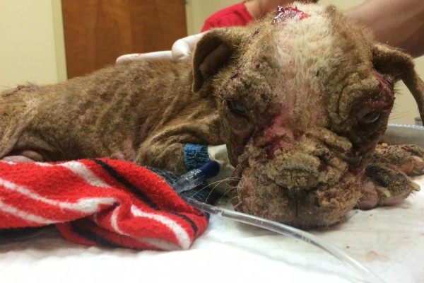 Libre's condition indicated long-term neglect. (Photo courtesy Dillsburg Veterinary Center's Facebook page)