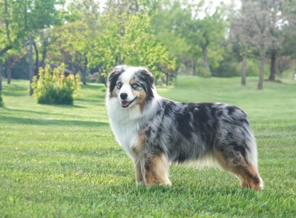 Miniature American Shepherd courtesy Crystal Allison