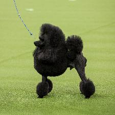 Miniature Poodle.