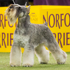 all about the miniature schnauzer dog breed
