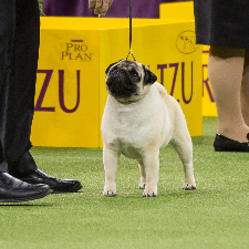 all about the pug dog breed