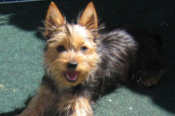 Silky Terrier.