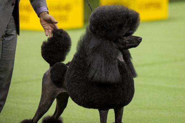 Standard Poodle.