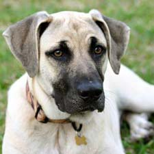 A Black Mouth Cur dog.