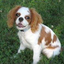 A Cavalier King Charles Spaniel dog.