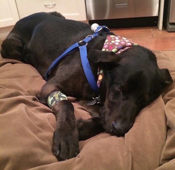 Harris resting after his dental procedure. (Photo by Chris Corrigan Mendez)