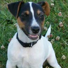 A Jack Russell Terrier dog.