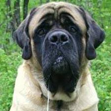 A Mastiff.