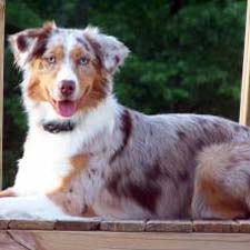 A Miniature Australian Shepherd dog.